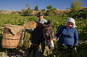 Older woman and man picking grapes, Donkey with baskets full of grapes, Grape harvest, Vasa village, Troodos mountains, Cyprus