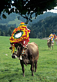 Decorated cow for Ceremonial Cattle Drive, Bavarian Oberland, Bavaria, Germany
