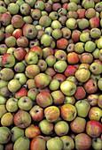 Freshly harvested apples, Altes Land, Lower Saxony, Germany