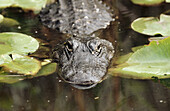 American Alligator. Everglades, Florida, USA