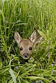 Fawn (Capreolus capreolus), may, Germany