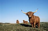 Highland cattle (Bos taurus). Texel island, Holland