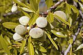 Almond tree (Prunus dulcis)