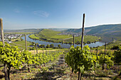 Terraced vineyards on hills along the bend of the Moselle River near Trittenheim. Moselle River Valley. Germany