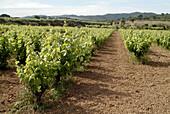 Vines in Garraf. Barcelona Province. Catalunya. Spain