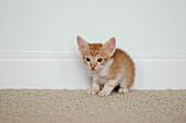 6 week old Cornish Rex kitten