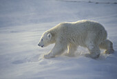 Polar bear cub in storm (Ursus maritimus)
