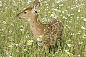 White tailed deer (Odocoileus virginianus), fawn