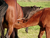 Animal, Animals, Baby animal, Baby animals, Color, Colour, Country, Countryside, Daytime, Domestic Horse, Domestic Horses, Equus caballus, Exterior, Families, Family, Feed, Feeding, Female, Females, Foal, Foals, Herbivore, Herbivores, Herbivorous, Horse,