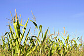 Ripe cornstalks against a clear blue sky