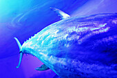 Animal, Animals, Blue, Color, Colour, Detail, Details, Fish, Fishes, Horizontal, Marine life, Nature, One, One animal, Sea, Tail, Tails, Underwater, Underwater life, Water, L40-303874, agefotostock