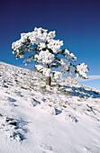 Snow covered Pine (Pinus sylvestris) in Penyagolosa. Castellon province. Comunidad Valenciana. Spain