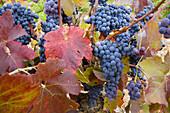 Vineyards, Fuenterrobles. Requena-Utiel, Valencia province, Comunidad Valenciana, Spain