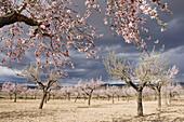 Almond trees. Valencia, Comunidad Valenciana, Spain