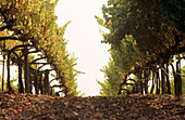 Vineyard. Sonoma Valley, California, USA