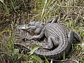 Alligator at Shark Valley Visitor Center, Everglades National Park. Florida, USA