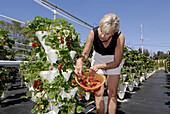 Hydroponic Strawberry Farming in Ruskin Florida Tampa Hillsborough County Gulf West Central