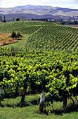 Weinfeld in einem Weinanbaugebiet auf der Südinsel, Neuseeland