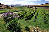 Weinfeld in einem Weinanbaugebiet, Südinsel, Neuseeland
