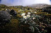 Alpine flora on the slopes of the volcano Mt. Taranaki at Mt.Egmont National Park, North Island, New Zealand