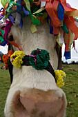 Decorated cow for Ceremonial Cattle Drive, Upper Austria, Austria