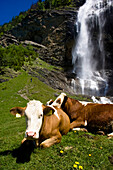 Cows lying in a summer meadow, Alpine pasture, Waterfall in the background, Maltatal, Hohe Tauern National Park, Carinthia, Austria