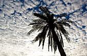 Silhouette of a palm tree with white clouds at sunrise, Sayh plateau, Hajjar mountains, Kashab, Khasab, Musandam, Oman