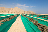 Animal Food, fish drying in the sun, Desert Landscape, Haijar Mountains, Musandam, Oman