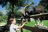 Girl feeding a goat, Heidiland, Grisons, Switzerland