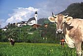 Cows grazing in a field near Illanz, Vorderrhein valley, Grisons, Switzerland