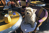 West Highland white terrier sitting on a bistro chair outside a Cafe, Paris, France