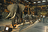 Elephants and wild animals in the Galerie de l'Evolution, Natural History Museum, Jardin des Plantes, 5e Arrondissement, Paris, France