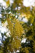 Yellow Flowering Tree, La Reserva Rotana Finca Hotel Rural, near Manacor, Mallorca, Balearic Islands, Spain