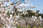 Almond Tree Blossoms and Finca, Near Santanyi, Mallorca, Balearic Islands, Spain