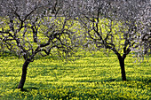 Blossoming Almond Trees in Wildflower Meadow, Near Randa, Mallorca, Balearic Islands, Spain
