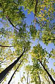 Norway Maple, Maple, Maple tree, Acer platanoides, Spitzahorn, Spitz-Ahorn, Ahorn, Ahornbaum, forest in spring, Gossau, Zuercher Oberland, Zuerich, Switzerland