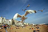 Aquatic bird, Aquatic birds, Beach, Beaches, Bird, Birds, Brighton, Close up, Close-up, Closeup, Coast, Coastal, Coastal Cities, Coastal City, Color, Colour, Contemporary, Daytime, Exterior, Facing camera, Fauna, Flight, Flights, Fly, Flying, Gull, Gulls,