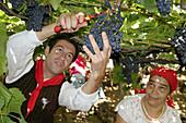 Man and woman in traditional costume harvesting. Festas das Vindimas (grape harvest festival). Estreito da Camara de Lobos. Madeira. Portugal.