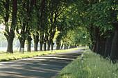 Alley with lime trees near Doberan. Mecklenburg Western Pomerania. Germany.