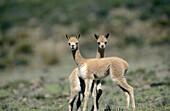Vicuña (Lama Vicugna). Youngsters at play. National Reserve of Pampa Galeras. Peruvian Andes