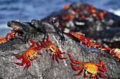 Sally Lightfoof Crab (Grapsus grapsus) sharing boulder with Marine Iguanas to escape extra high tide. Mosquera Island, Galapagos Islands. Ecuador