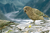Kea Parrot (Nestor notabilis), endemic species by buttercup foraging in alpine habitat. Fox glacier, Westland National Park. South Island, New Zealand