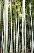Background, Backgrounds, Bamboo, Bamboo forest, Botany, Color, Colour, Daytime, Detail, Details, Exterior, Japan, Kyoto, Lush, Luxuriant, Many, Natural background, Natural backgrounds, Nature, Outdoor, Outdoors, Outside, Pattern, Patterns, Plant, Plants,