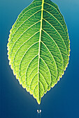 Botany, Close up, Close-up, Closeup, Color, Colour, Daytime, Detail, Details, Dew, Drop, Droplet, Droplets, Drops, Exterior, Fresh, Freshness, Green, Leaf, Leaves, Nature, Outdoor, Outdoors, Outside, Plant, Plants, Rain, Raining, Rainy, Water, Wet, L88-46
