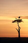 Black Crowned Cranes (Balearica pavonina) on acacia tree at sunset. Masai Mara, Kenya