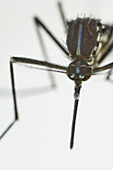 Newborn female Asian Tiger Mosquito (Aedes albopictus) resting at the water surface, Spain