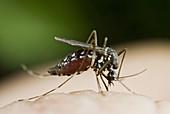 Asian Tiger Mosquito (Aedes albopictus) feeding on human skin, Spain