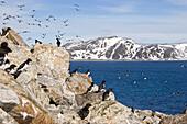 Little Auks, Alle alle, Spitsbergen, Norway