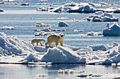 Polarbear with cubs on icefloe, Ursus maritimus, Svalbard, Norway