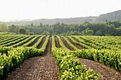 Vines in summer. La Rioja. Spain